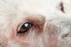 El perro de caniche observa con la infección Imagenes de archivo