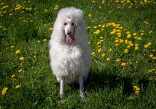 El perro de caniche real blanco se sienta en la hierba verde Imagen de archivo