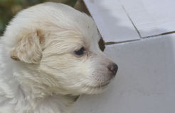 El perro de caniche se fue en una caja de cartón para la adopción Imagen de archivo