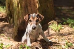 El perro de caza lindo de Jack Russell Terrier looing fuera de una cueva fotografía de archivo