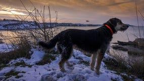 El perro de caza negro se sienta en la playa contra la perspectiva de una puesta del sol hermosa en invierno Imagen de archivo