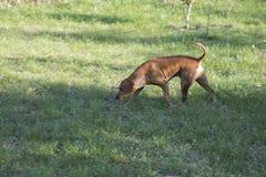 El perro de caza remonta el rastro Fotografía de archivo