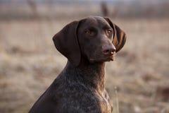 El perro de caza se sienta y mira fijamente a continuación fotografía de archivo libre de regalías