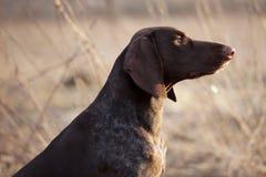 El perro de caza se sienta y mira fijamente en la distancia foto de archivo libre de regalías