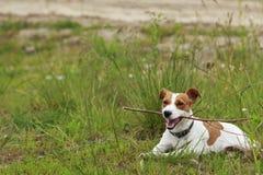 El perro de Jack Russell Terrier fotografía de archivo libre de regalías