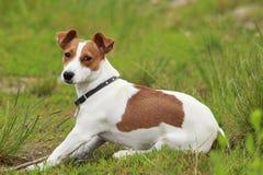 El perro de Jack Russell Terrier Fotografía de archivo