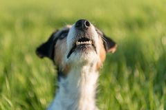 El perro de Jack Russell Terrier est? mirando para arriba delante de un prado verde como fondo imágenes de archivo libres de regalías