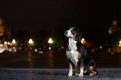 El perro de la montaña de Entlebucher, Sennenhund camina en una noche imágenes de archivo libres de regalías
