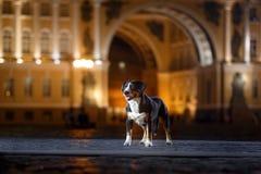 El perro de la montaña de Entlebucher, Sennenhund camina en una noche fotografía de archivo libre de regalías