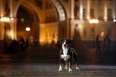 El perro de la montaña de Entlebucher, Sennenhund camina en una noche foto de archivo libre de regalías