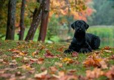 El perro de la raza del Schnauzer gigante que miente en la hierba También conocido como Riesenschnauzer Fondo del otoño foto de archivo libre de regalías