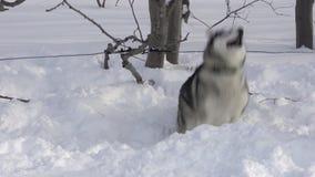 El perro de la raza fornida en el correo atado al árbol en bosque, raspa antes de competir con de perro de trineo