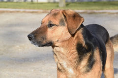 El perro de la raza mezclada desconocido Imagen de archivo libre de regalías