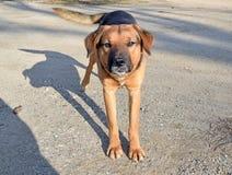 El perro de la raza mezclada desconocido Imágenes de archivo libres de regalías