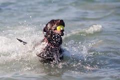 El perro de Labrador nada en el mar Imágenes de archivo libres de regalías