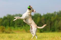 El perro de Labrador salta para una bola Imagen de archivo