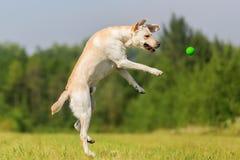 El perro de Labrador salta para una bola Imagen de archivo libre de regalías