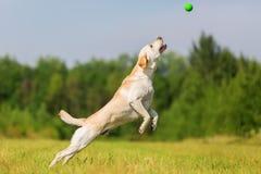 El perro de Labrador salta para una bola Imagenes de archivo
