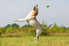 El perro de Labrador salta para una bola Fotos de archivo