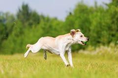 El perro de Labrador salta para una bola Foto de archivo libre de regalías