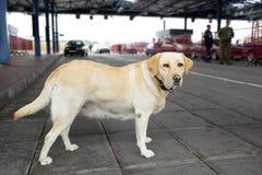 El perro de las aduanas Fotografía de archivo libre de regalías