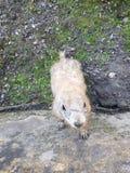 El perro de las praderas está mirando al natural del roedor fotografía de archivo