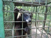 El perro de mapache pega su bozal hacia fuera a través de las barras de hierro de su jaula fotos de archivo libres de regalías