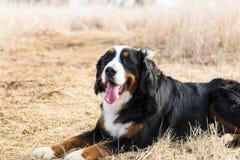 El perro de montaña de Bernese se sienta bastante imagen de archivo libre de regalías