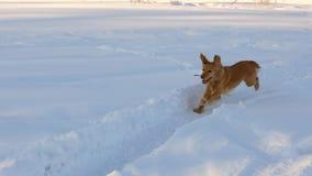 El perro de oro hermoso, alegre y bueno, corre a través de las nieves acumulada por la ventisca blancas en un parque en el invier Imagen de archivo libre de regalías