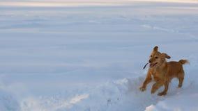 El perro de oro hermoso, alegre y bueno, corre a través de las nieves acumulada por la ventisca blancas en un parque en el invier Imagenes de archivo