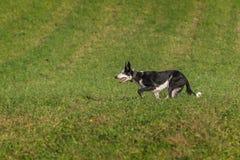 El perro de ovejas funciona con los oídos izquierdos para arriba Fotografía de archivo libre de regalías