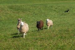 El perro de ovejas miente aries abajo de observación del Ovis de las ovejas que camina adentro Foto de archivo libre de regalías