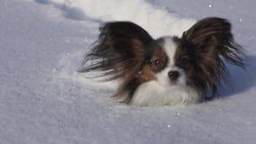 El perro de Papillon hace valeroso su manera a través de la nieve en vídeo de la cantidad de la acción de la cámara lenta del par almacen de video