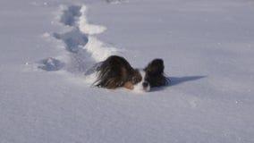 El perro de Papillon hace valeroso su manera a través de la nieve en vídeo de la cantidad de la acción de la cámara lenta del par almacen de metraje de vídeo