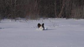 El perro de Papillon hace valeroso su manera a través de la nieve en vídeo de la cantidad de la acción de la cámara lenta del par metrajes