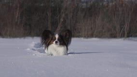 El perro de Papillon hace valeroso su manera a través de la nieve en vídeo de la cantidad de la acción del parque del invierno metrajes