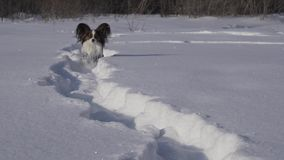 El perro de Papillon hace valeroso su manera a través de la nieve en vídeo de la cantidad de la acción del parque del invierno almacen de metraje de vídeo