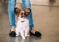 El perro de Papillon también llamó el juguete continental Imágenes de archivo libres de regalías