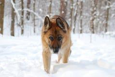 El perro de pastor alemán   Imagen de archivo