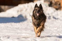 El perro de pastor está corriendo en la nieve en invierno imágenes de archivo libres de regalías