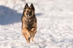 El perro de pastor está corriendo en la nieve en invierno fotos de archivo libres de regalías
