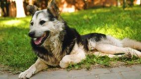 El perro de pastor respira profundamente, sacando su lengua del calor que miente en la hierba en el parque metrajes