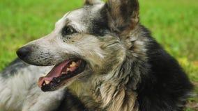 El perro de pastor respira profundamente, sacando su lengua del calor que miente en la hierba en el parque almacen de video