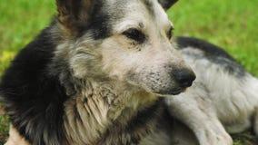 El perro de pastor respira profundamente, sacando su lengua del calor que miente en la hierba en el parque almacen de metraje de vídeo