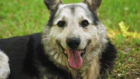 El perro de pastor respira profundamente, tirando de su lengua del calor almacen de video