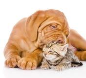 El perro de perrito de Burdeos besa el gatito de Bengala Aislado en blanco Imagen de archivo libre de regalías