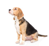 El perro de perrito del beagle que mira lejos y sube Aislado en blanco Foto de archivo