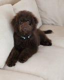 El perro de perrito del labradoodle del chocolate pone en el sofá que mira para arriba Foto de archivo