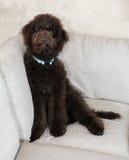 El perro de perrito del labradoodle del chocolate se sienta en el sofá Fotos de archivo libres de regalías