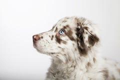 El perro de perrito del pastor australiano Imágenes de archivo libres de regalías